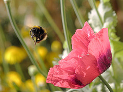 Foraging Bee